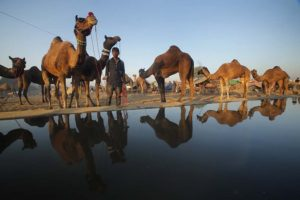 Camels at Pushkar fair in Rajasthan