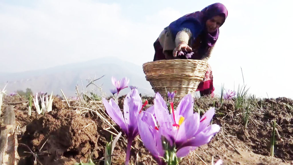 saffron-field-kashmir-collecting