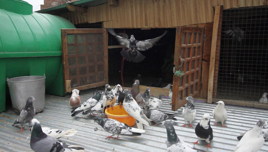 Pigeons are reared on rooftops
