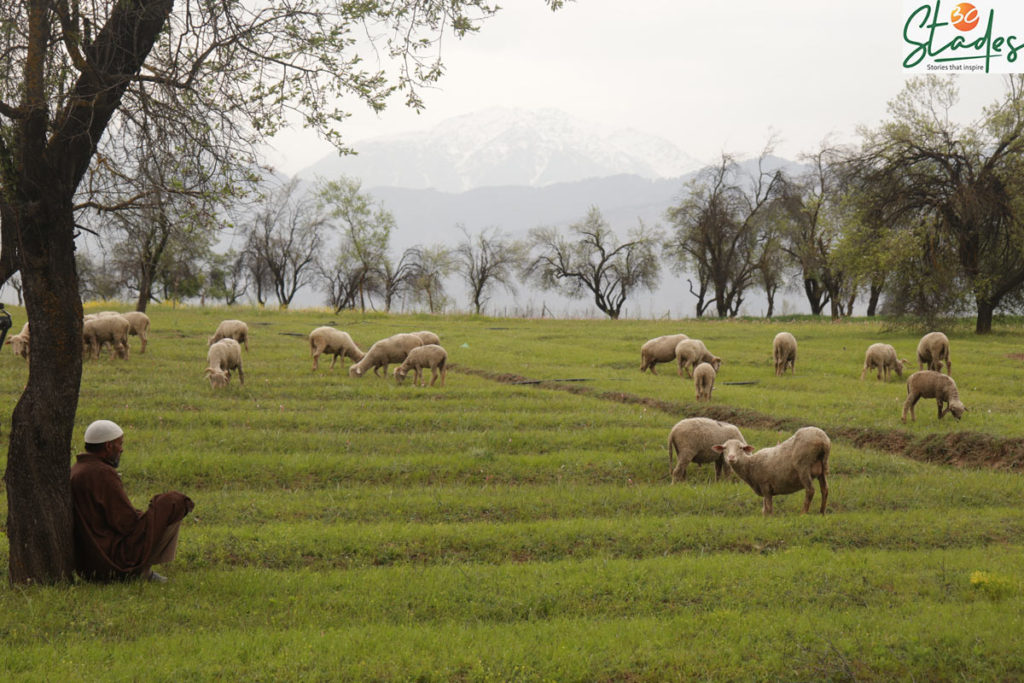 Kashmir's beauty in picutures: A shepherd looks at his grazing cattle, 30Stades