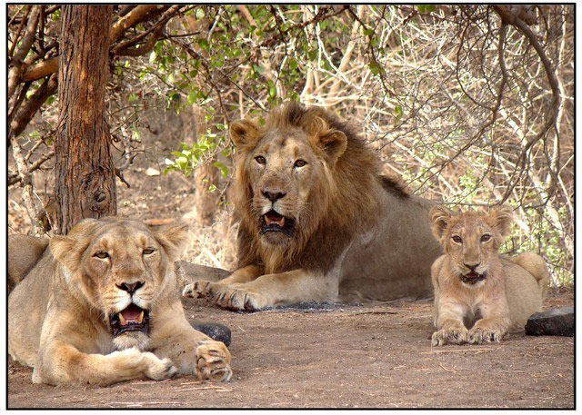 How Maldhari & rojamdars live with lions in the Gir Forest, 30 stades, Asiatic lion, Gujarat, endangered species