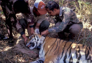 Reverse migration in COVID-19 may increase tiger poaching: Padma Shri tiger expert Dr Karanth tiger conservation project tiger, indira gandhi, ranthambhore park, nagarhole tiger park, prey decline
