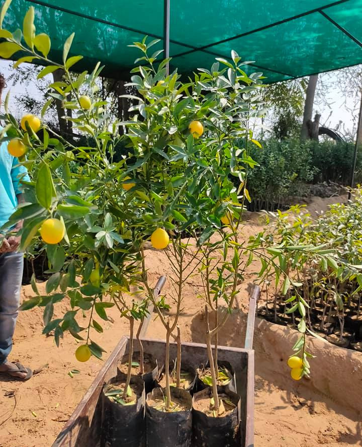 How organic fruit farming made Rajasthan's Santosh Devi a millionaire organic manure sikar shekhawati krishi farm ecofriendly sustainable agriculture organic fruits pomegranates mosambi sweet lime lemon ber guava 30 stades