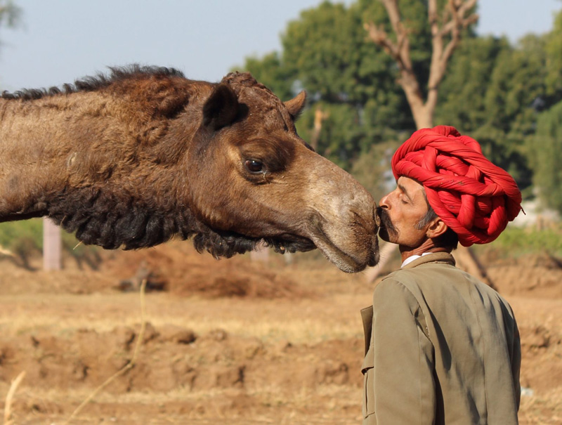 Rajasthan's Camel Charisma builds a superfood business with camel milk and cheese