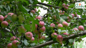 Why is Kashmir's 800-year-old apple economy in shambles?