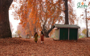 Kashmir's beauty in autumn pictures 30stades maple leaf chinar trees