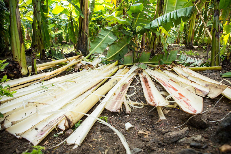 Banana bark, considered agri waste, is the basic raw material for GreenKraft's eco-friendly products. Pic: GreenKraft