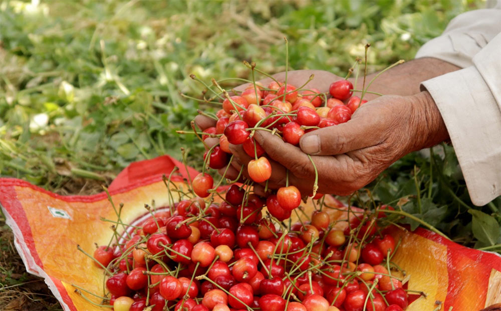Cherries, strawberries and apples rotted in Kashmir as the fruits couldn't be transported out of the valley due to COVID lockdown. Farmers, already under debt, booked huge losses. Pic: Wasim Nabi