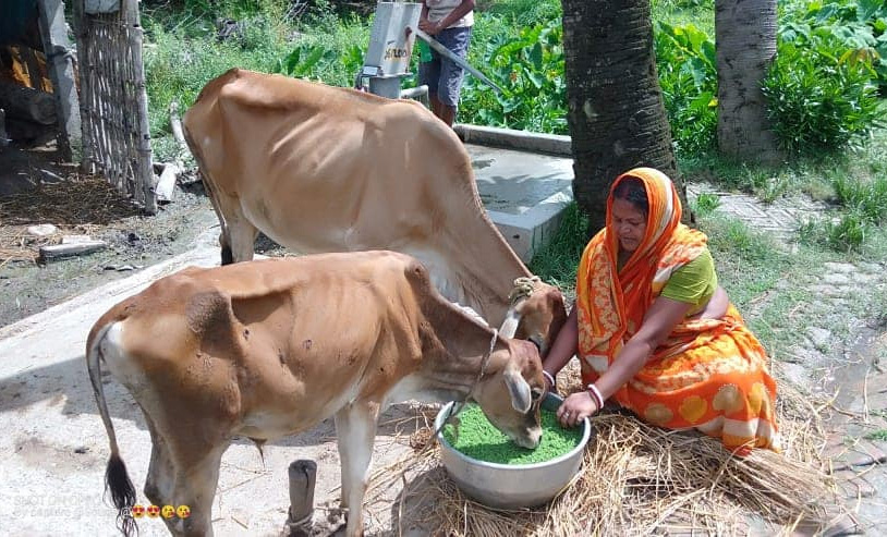 Cows are fed only organic grass and no chemicals are used in their feed.