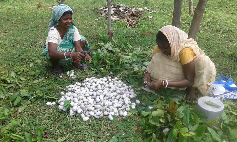 Women harvesting cocoons which will be boiled to obtain silk thread. Pic: through Pradan