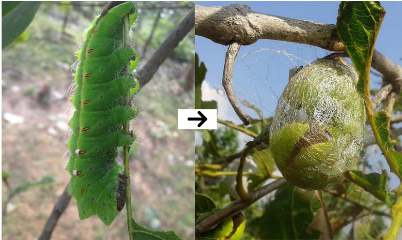 Silkworm forms a cocoon of threads after feeding on Ansar and Arjuna food plants. Pic: Pradan