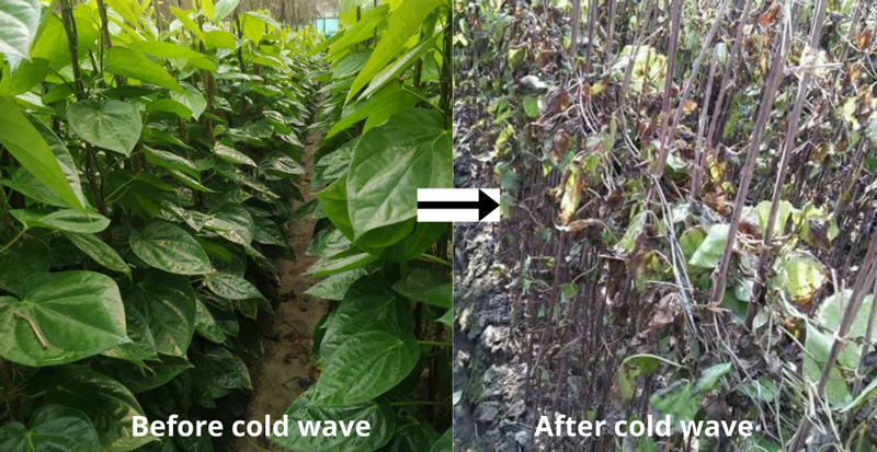 The impact of cold wave on betel leaf crop this January. Pic: by Naveen Chaurasia, Nawada