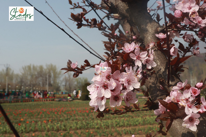 Over 15 lakh flowers of 64 varieties will bloom this year.  Pic: Wasim Nabi  30 stades