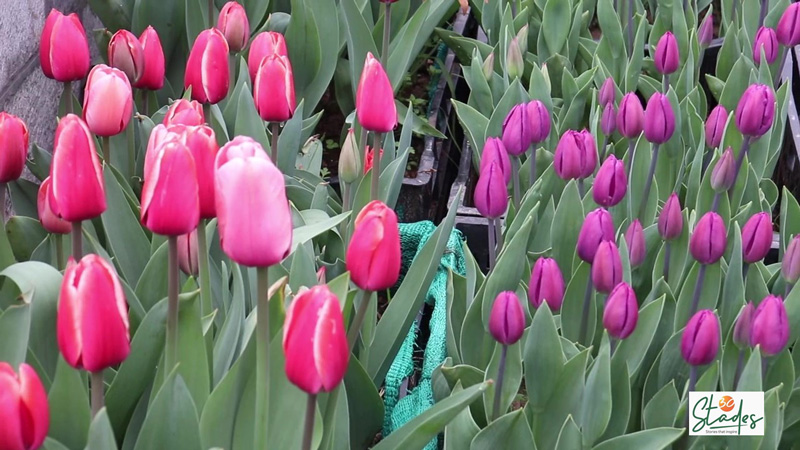 Tulips in beautiful hues are spread across the garden. Pic: Wasim Nabi 30 stades