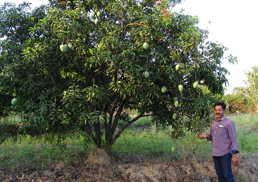 Jagdeesh Reddy's naturally grown and ripened mangoes fetch more than double the market rates. Pic: Facebook/@thenaturefarming 30stades