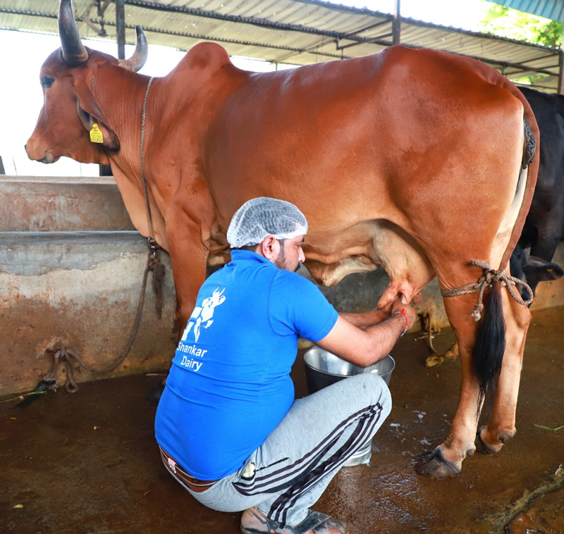 Milk obtained from indigenous cow breeds is high in A2 beta-casein protein. Pic: through Shankar Farm Fresh
