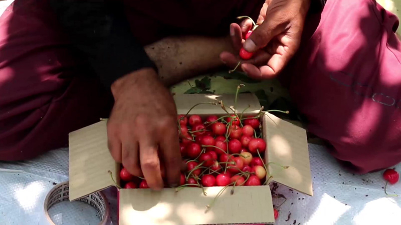 Cherries are packaged on the farms. Pic: Wasim Nabi