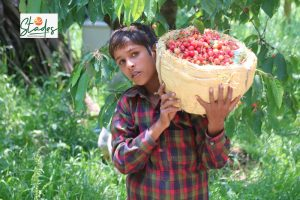 Kashmir: Visuals of cherry strawberry harvesting as government airlifts fruit from the valley goair srinagar 30 stades
