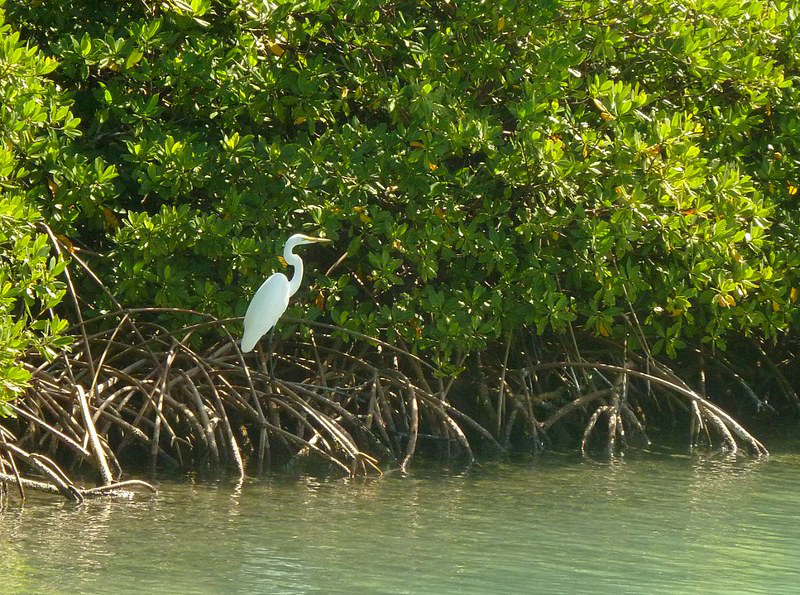 Mangroves are carbon-di-oxide sinks as they absorb carbon and grow biomass. Pic: Flickr