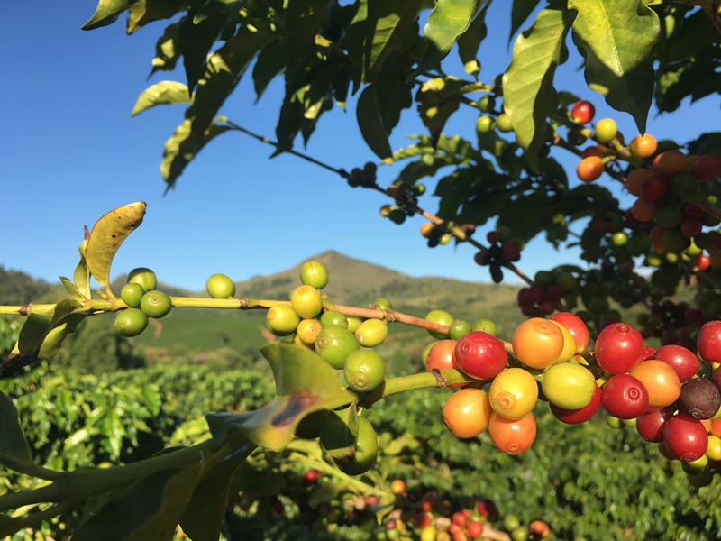 India is home to two coffee varieties -- Coffee Robusta and Coffee Arabic. Coffee cherries above. Pic: Flickr 30stades