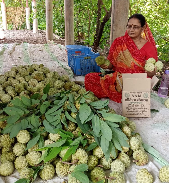 Lalita Mukati grows custard apple over 40 acres and has also set up a processing plant on the farm to remove the pulp. Pic: Lalita Mukati organic custard apple fruits 30 stades