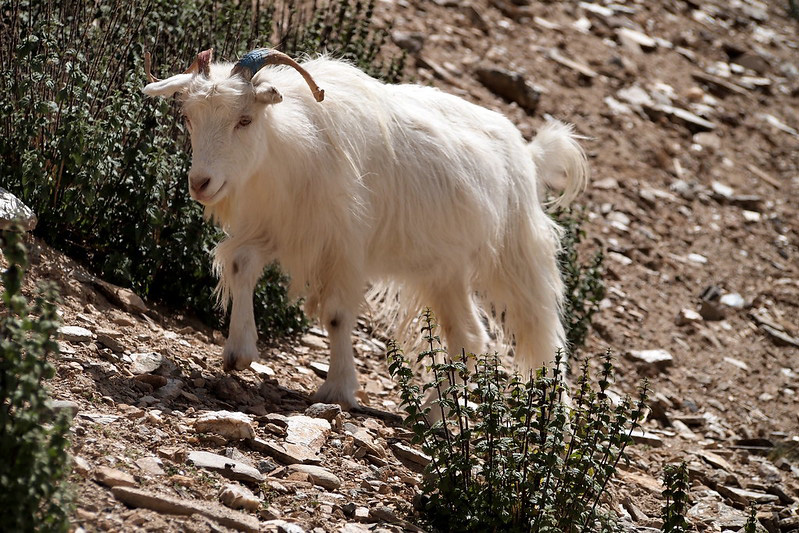 Changthangi (Pashmina) goats are found at 4500 m above sea level where winter temperature goes down to minus 40 degrees Celsius. Pic: Flickr 30 stades