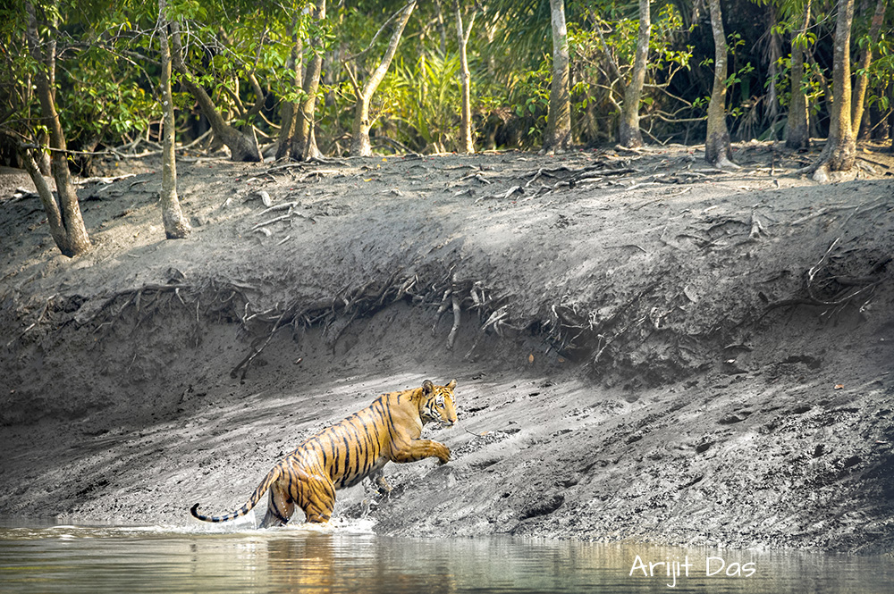 Sundarbans mangroves are home to 96 tigers, as per the Tiger Census 2021 by the West Bengal Government. Pic: Arijit Das