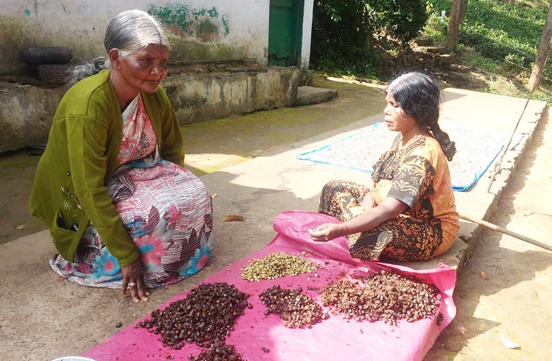 Janaki Amma (left) examining the quality of produce before collection. Pic: AAPCL 30STADES